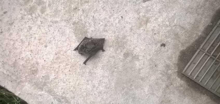 Сотни ижевчан напуганы нашествием летучих мышей
