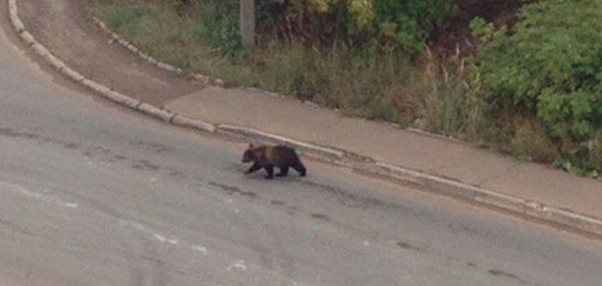 Медвежонка, который бегал по Ижевску, не могут найти