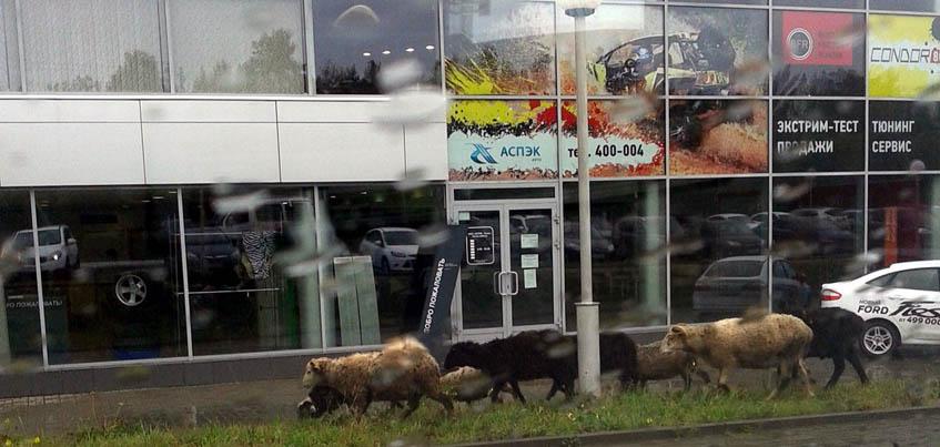 В Ижевске в автосалоны ходят не только люди, но и… овцы