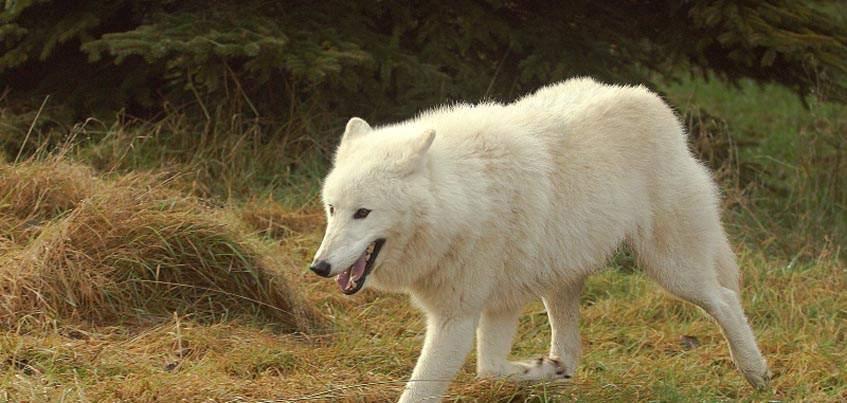 Арктический белый волк из Ижевского зоопарка уедет в Пензу