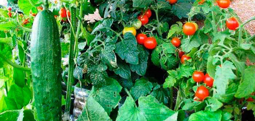 Удачи на даче: как вырастить клубнику и помидоры черри зимой
