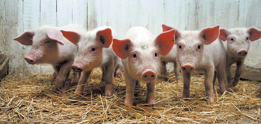 Африканская чума свиней впервые так близко «подобралась» к Удмуртии