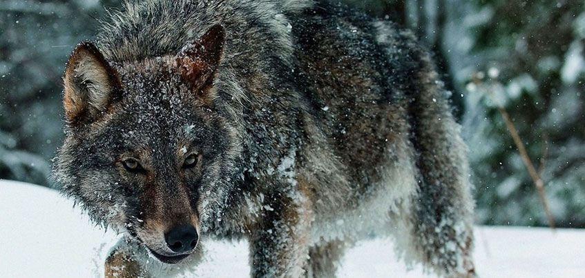 Жителей Можгинского района Удмуртии предупредили о бродящих в округе волках