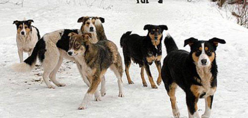 Минприроды Удмуртии опровергло сообщения о стаях волков