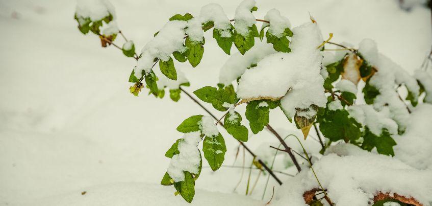 Есть вопрос: Почему в ноябре в Ижевске на деревьях остаются зеленые листья?