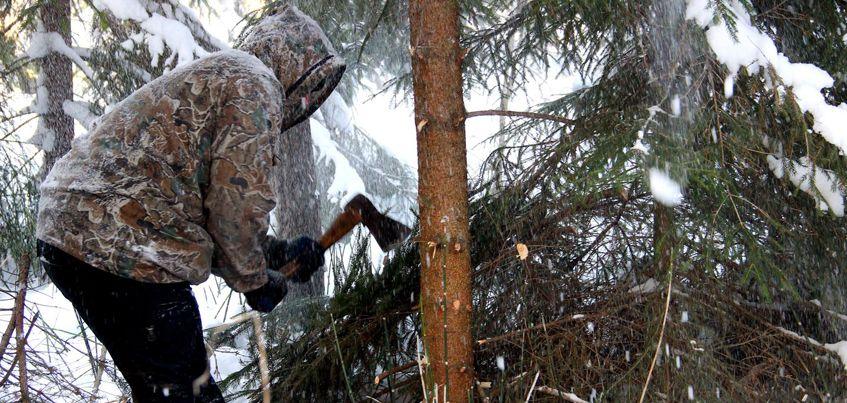 В Удмуртии начались рейды против незаконной вырубки елок