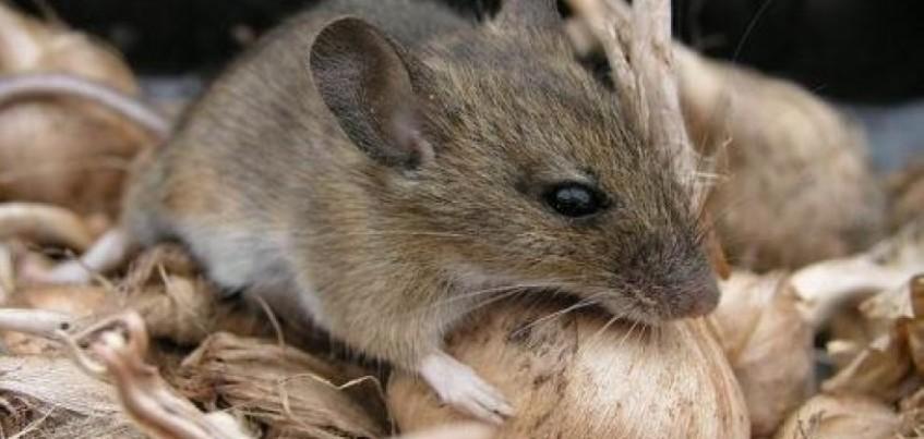 В Удмуртии зафиксировали 12 случаев заболевания мышиной лихорадкой