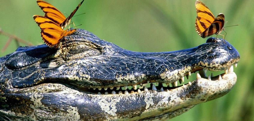 В Ижевском зоопарке покажут двух крокодилов и яка по кличке Кузнечик