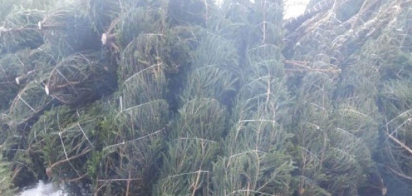 Почти 6000 новогодних деревьев отправили из Удмуртии в другие регионы