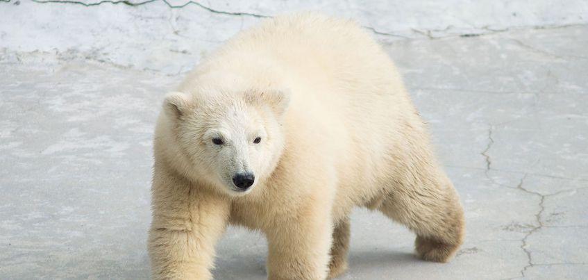 В зоопарке Ижевска появился еще один белый медведь