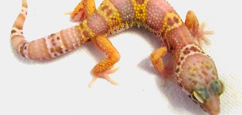 Семейное счастье с пауками и гекконами: в квартире зоолога из Ижевска живут редкие виды гадов
