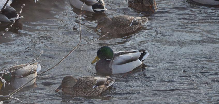 Ижевчане могут принять участие в учете зимующих водоплавающих птиц
