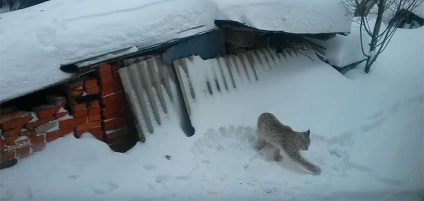 Дикую рысь заметили во дворе жилого дома в Удмуртии
