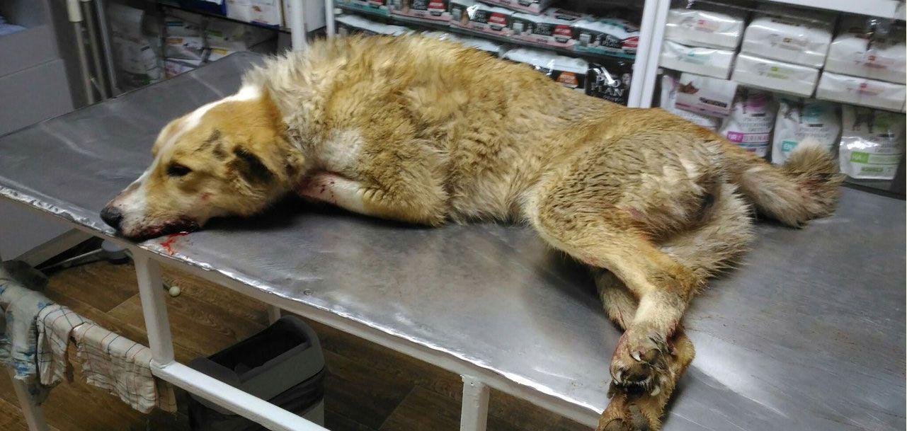 В Ижевске собирают деньги на лечение собаки, которую сбила машина