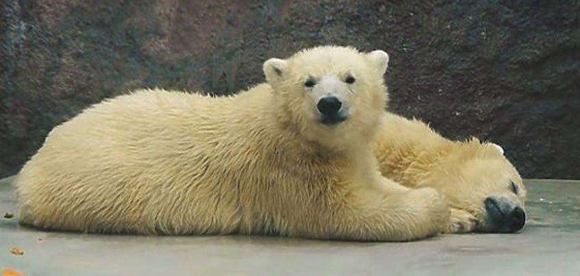 Двое белых медвежат из зоопарка Удмуртии переедут в Будапешт