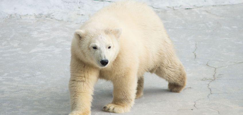 Белого медведя Норда готовят к переезду из Ижевского зоопарка