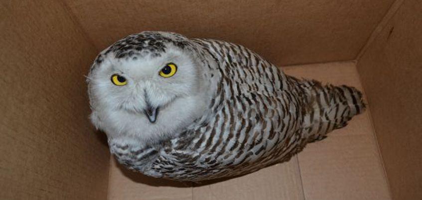 В Удмуртии сотрудники следственного изолятора нашли на улице полярную сову
