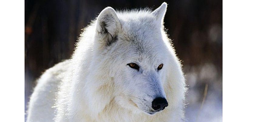 Арктическая волчица из Ижевска переехала  в зоопарк Читы