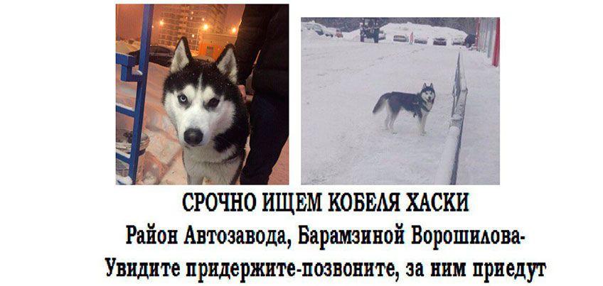 Страсти по хаски: в Ижевске люди, нашедшие собаку, не хотели отдавать ее владельцу