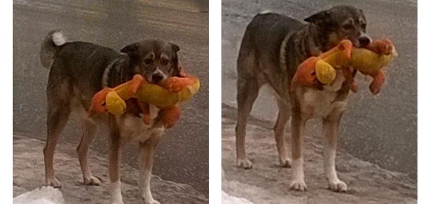 Фотофакт: По Ижевску гуляет собака с плюшевой игрушкой в зубах