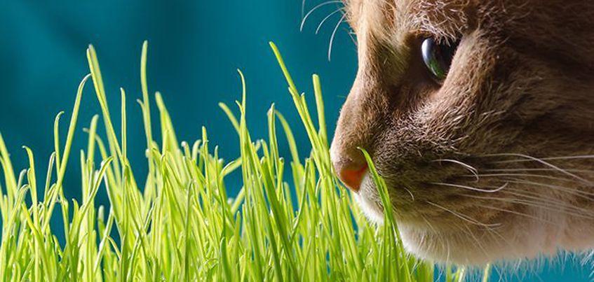 Есть вопрос: Какие растения можно выращивать ижевчанам для своих котов и кошек прямо на подоконнике