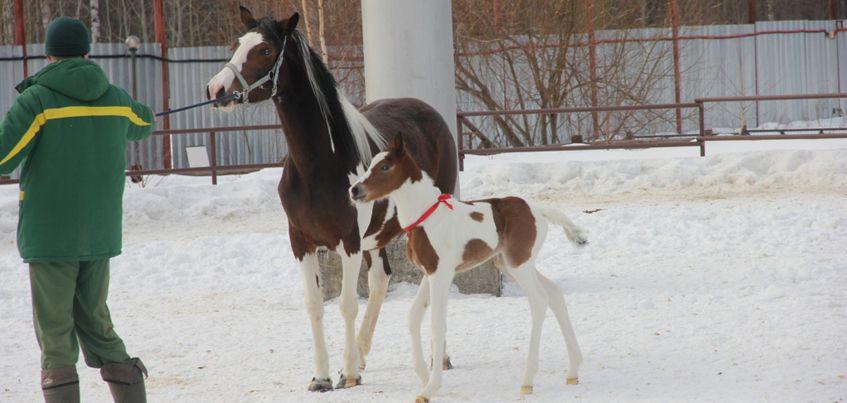 10 марта в Ижевском зоопарке родился жеребенок