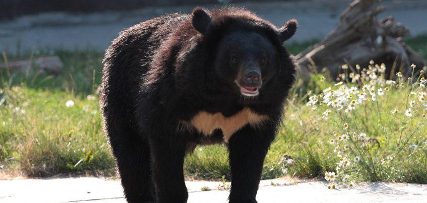 В Ижевском зоопарке проснулись бурый и гималайский медведи