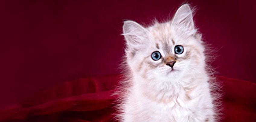 8 и 9 апреля в ТРК «Петровский» пройдет Весенняя выставка кошек