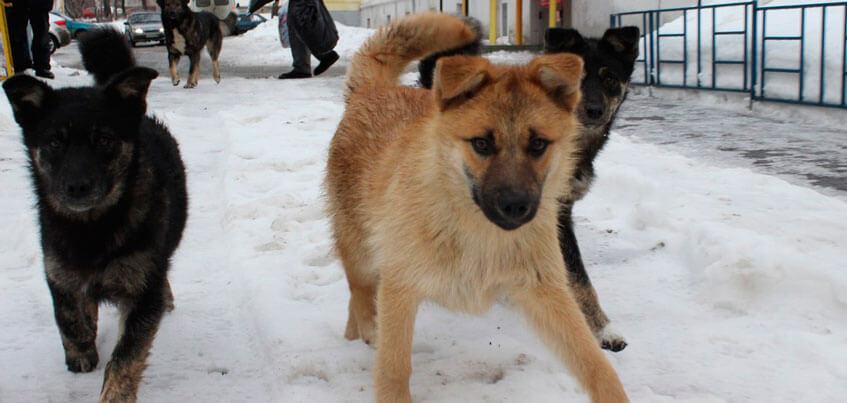 Собачий вопрос в Ижевске: горожане жалуются на большие стаи и нападения