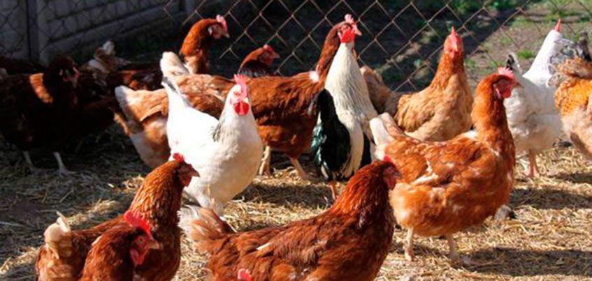 Птичий грипп добрался до села Малая Пурга в Удмуртии