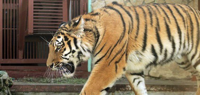 Амурский тигр Джагар из Ижевска переехал в зоопарк Екатеринбурга