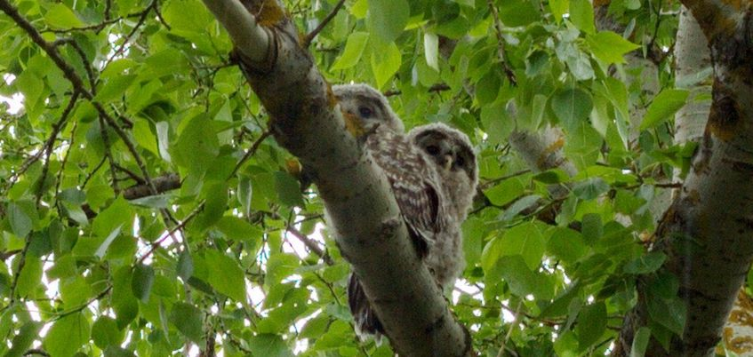 В жилом районе Глазова на дереве заметили двух маленьких совят