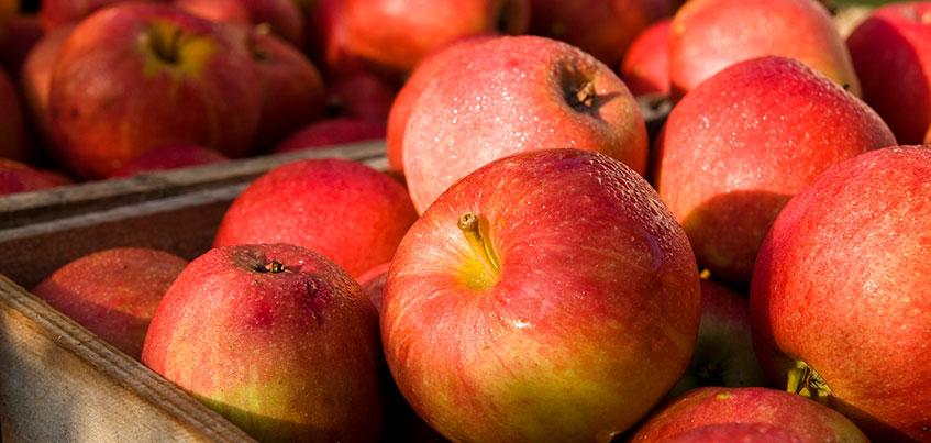 255 килограммов яблок из Польши уничтожили в Удмуртии