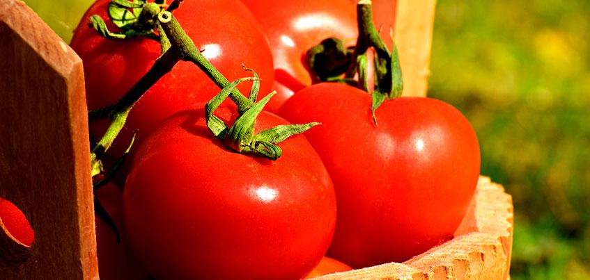 Дачные секреты: как ижевчанам вырастить большой урожай томатов?