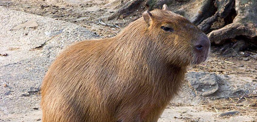 В Ижевском зоопарке поселилась капибара