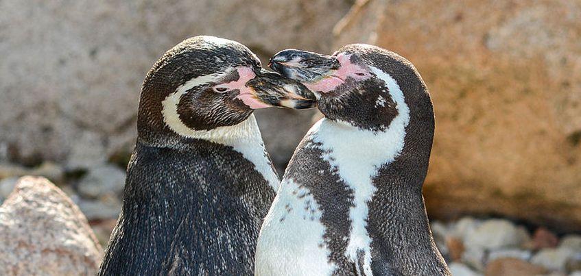 В Ижевский зоопарк привезли пять краснокнижных пингвинов Гумбольдта