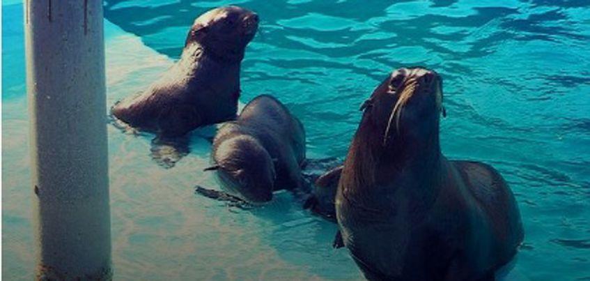 В ижевском зоопарке родилась двойня морских котиков
