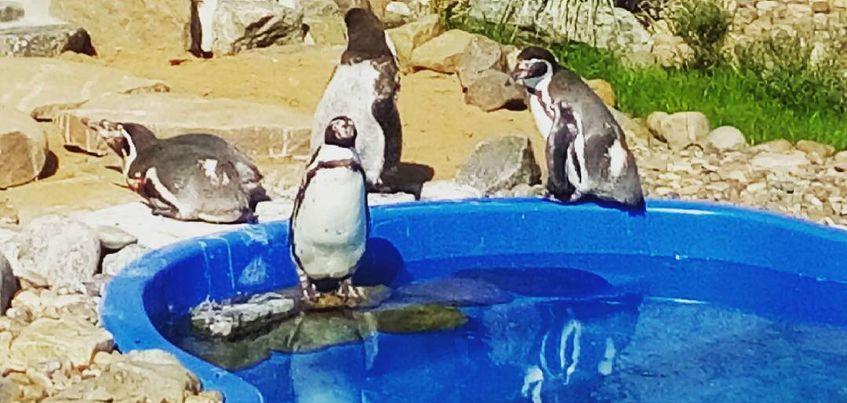 В зоопарке Удмуртии открылся вольер с краснокнижными пингвинами