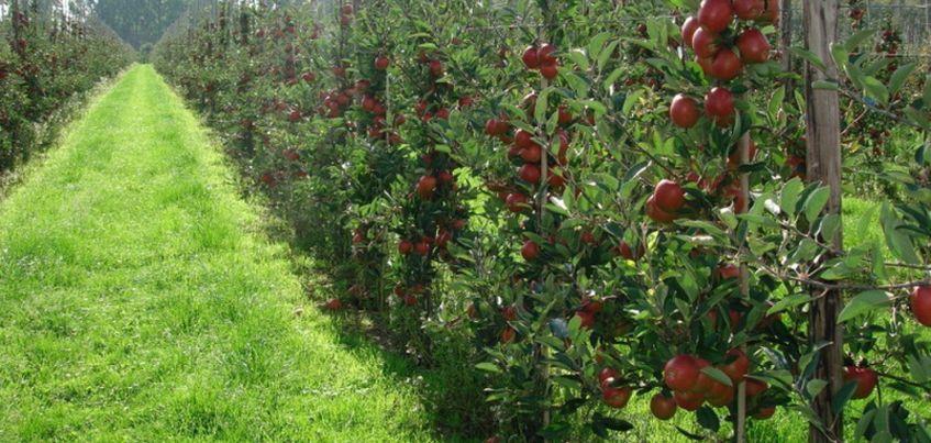 Выбираем саженцы: как вырастить в Удмуртии колоновидные яблони и груши?