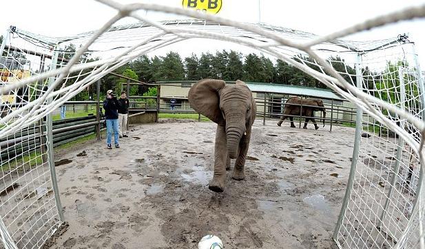 Енот-предсказатель из Ижевска и слониха из Германии: кто  в этом году претендует на звание спортивных ясновидящих?