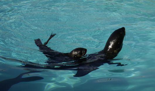 В Ижевском зоопарке родился морской котик