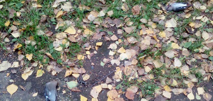 Почему в Ижевске так много мертвых птиц?