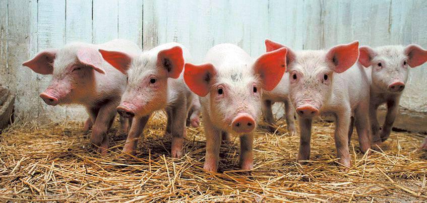 Вспышки африканской чумы свиней зарегистрированы в нескольких регионах России