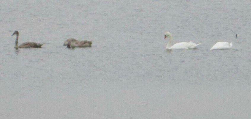 Жители деревни в Каракулинском районе Удмуртии пытаются спасти лебедей с замерзающего пруда