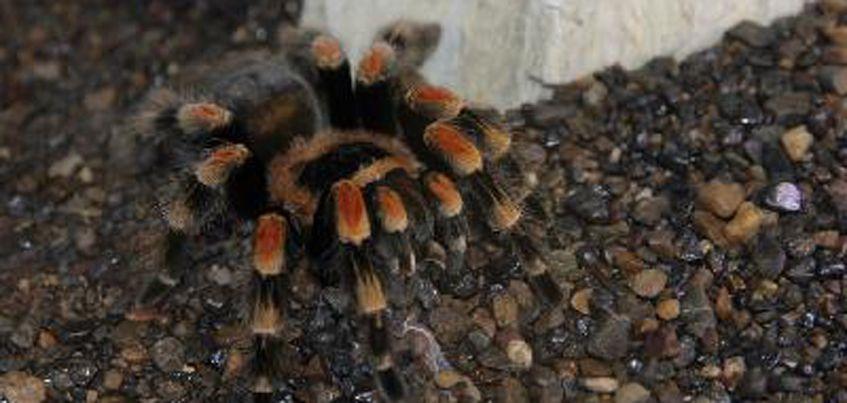 В Ижевский зоопарк привезли восемь пауков-птицеедов