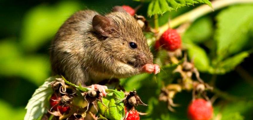 В Ижевске почти тысячи человек заболели мышиной лихорадкой с начала года