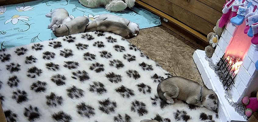 В Ижевске вновь запустили онлайн-трансляцию из жизни щенков хаски