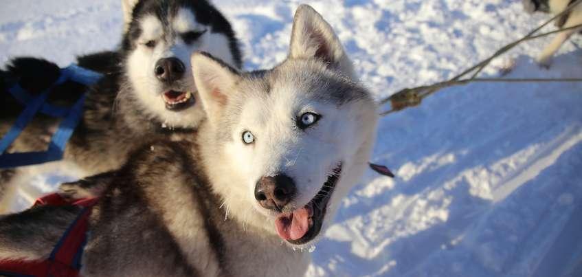 Гонка на собачьих упряжках «Январская метель-2018» в Удмуртии: дистанция в 80 км, 128 собак и участник из Европы