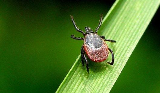 С начала года в Удмуртии 7 человек заразились энцефалитом