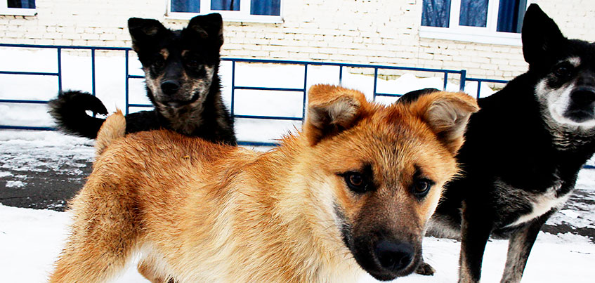 «Собачий вопрос» в Ижевске: решать проблему бездомных животных будут волонтеры?
